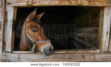 Foal in the stall looks at the street Russia