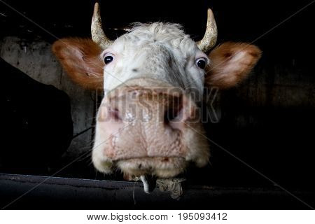 Funny cow muzzle looking at the camera Russia
