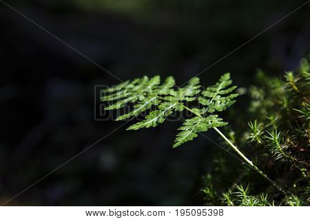 Beautiful fern leaves green foliage with dark background in sunlight.