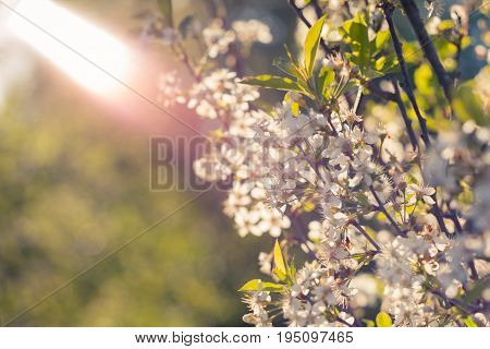 Blossoming Of Cherry Flowers In Spring Time.