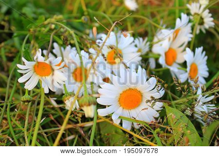 Chamomile flowers. Daisies in the garden. Bouquet of daisies. Chamomile in the meadow
