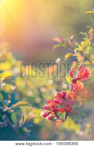 Beautiful Spring Flowering Decorative Quince.