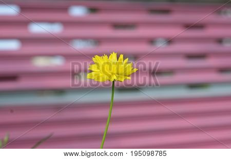 yellow flower isolated Yellow Background,Yellow nice Flowers,beautiful flower park at home