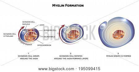 Myelin Sheath Of The Neuron