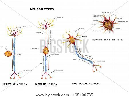 Nerve Cell Types And Organelles