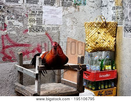 Rooster On Street In Manila, Philippines