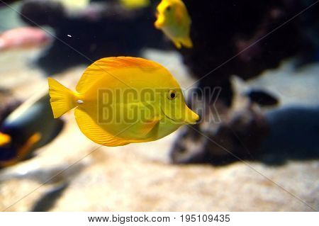 Zebrasoma flavescens yellow surgeonfish. Bright yellow coral reef fish in salt water