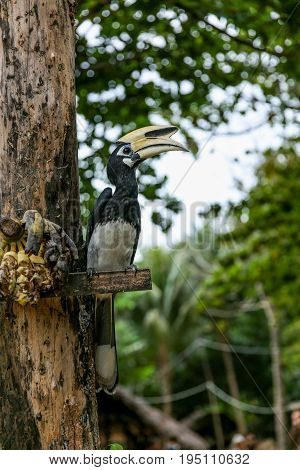 Close Up Portrait Of Oriental Pied Hornbill Anthracoceros Albirostris With Banana In Nature