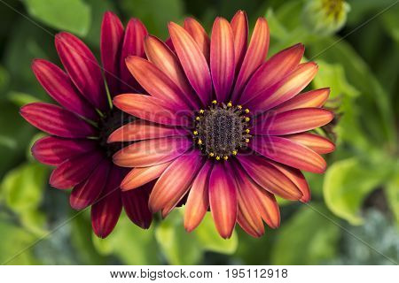 Two Osteospermum 'Elite Ruby' flowers in the garden. Primary focus on the centre heart of the flower with very shallow depth of field used leaving everything else soft and dreamy.