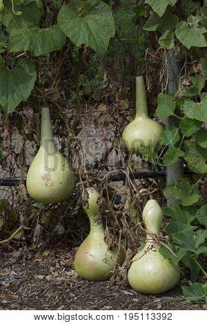 Four Lagenaria Siceraria Bottle Gourd growing on the vine in a garden. Also known as Calabash Bottle Gourd White-Flowered Gourd Opo squash Long melon Suzza Melon New Guinea bean and Tasmania bean.