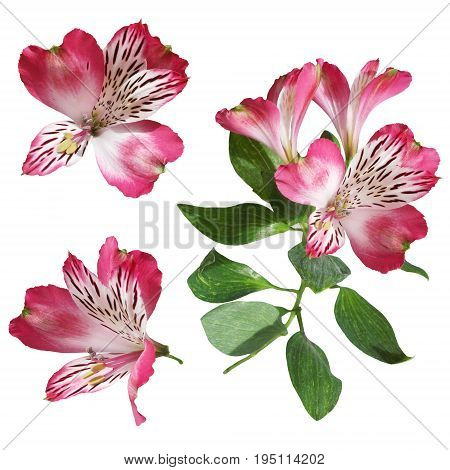 Beautiful pink alstroemeria isolated on white background.