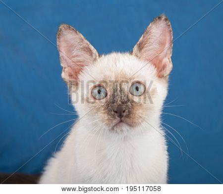 Closeup of a beautiful tortie point Siamese kitten against a blue background