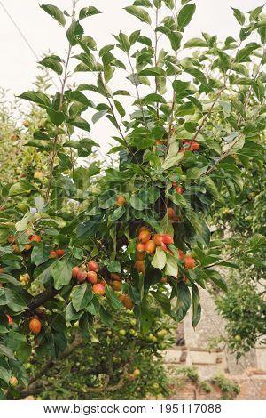 Closeup of a fruit tree against the sky