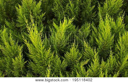 The texture of a green juniper. Leaf texture background.