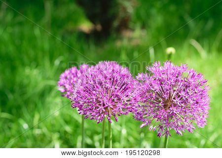Allium aflatunense - blurry photo pf purple pink flowers on green background