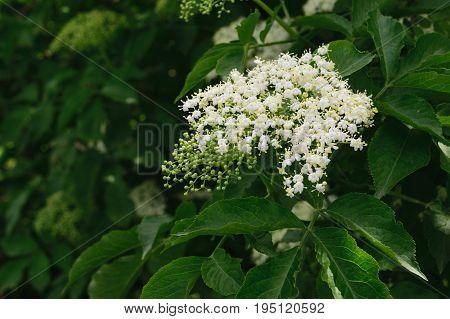 European black elderberry ( Sambucus Nigra ) flowers