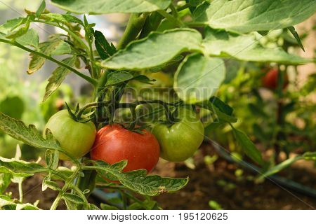 fresh organic green unripe tomato and red ripe tomato on the same plant - Solanum lycopersicum