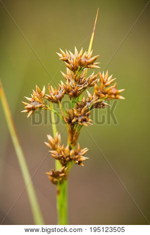 A beautiful sedges growing in a marsh after the rain in summer. Shallow depth of field closeup macro photo.