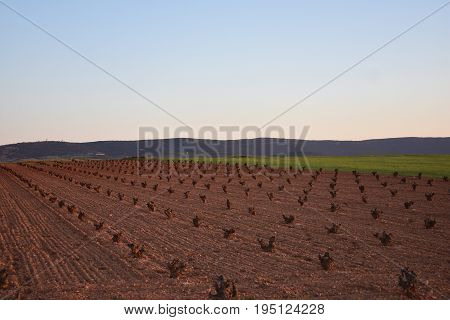 The vines will gradually begin to shed their leaves