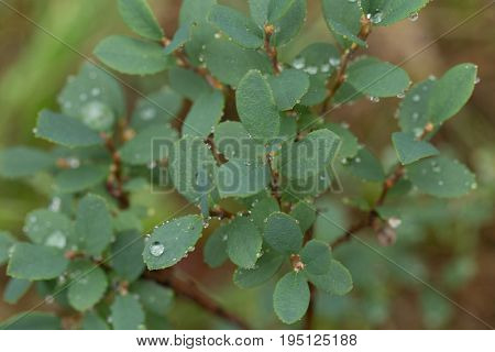 Beautiful closeup of a billberry leaves on a natural background with rain drops. Shallow depth of field closup macro photo.