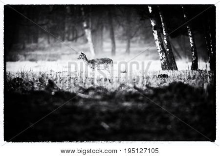 Vintage Black And White Photo Of Fallow Deer Doe Standing In Misty Field.