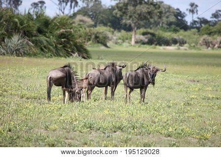 Wildebeest Wild Antelope Gnu In African Botswana Savannah