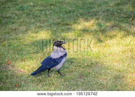 watchful young crow standing on the grass field in search of food in the city