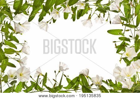 Frame with  bindweed on a white background.Png.