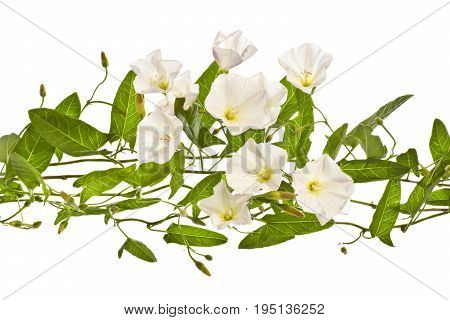 Several flowers of bindweed  on a white background.Png.