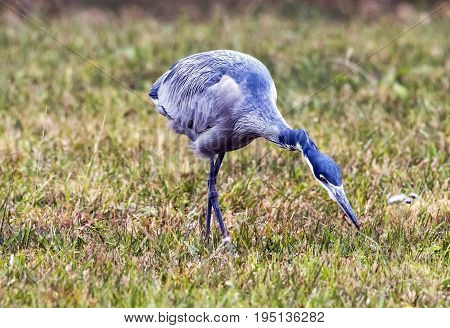 Wild Black Headed Heron Foraging In Dry Winter Grass