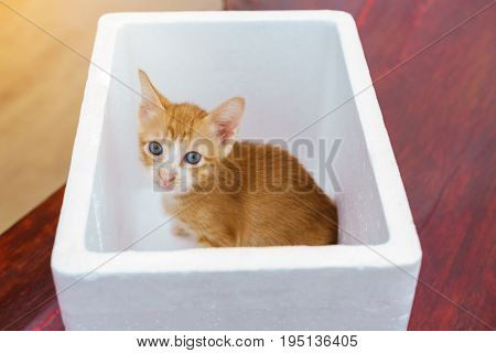 Cute little naughty yellow Domestic kitten caught in foam container