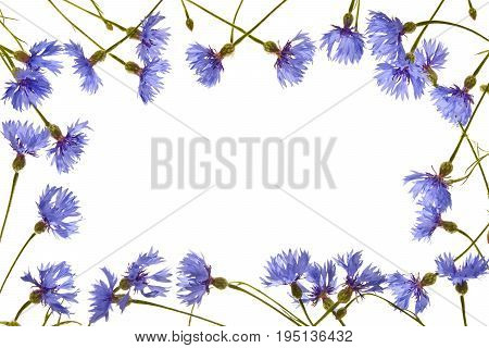 Cornflowers on a white background.Frame. Several blue cornflowers close up.