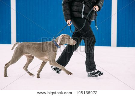 Weimaraner Dog Walking Near Human In Snow At Winter Day. Large Dog Breds For Hunting. The Weimaraner Is An All-purpose Gun Dog.