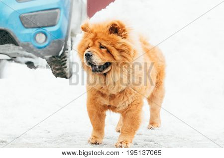 Beautiful Chow Chow Dog Standing In Snow At Winter Day. Chow Is A Dog Breed Originally From Northern China.