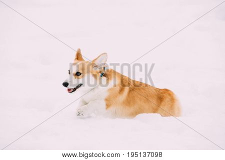 Funny Happy Pembroke Welsh Corgi Dog Playing, Fast Running Outdoor In Snow, Snowdrift At Winter Day. Welsh Corgi Is A Small Type Of Herding Dog That Originated In Wales