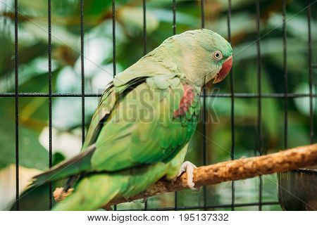 Alexandrine Parakeet Or Alexandrian Parrot Or Psittacula Eupatria Is A Member Of The Psittaciformes Order And Of The Family Psittaculidae. Two Birds In Cage.