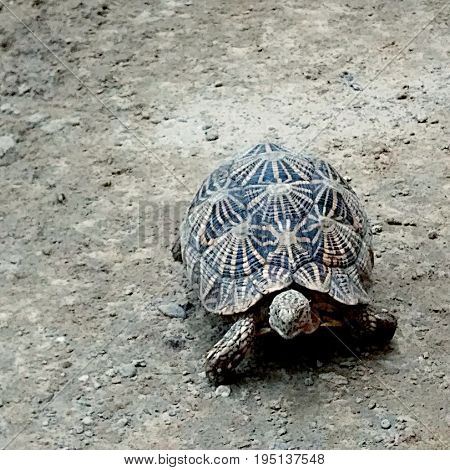 Indian Tortoise with having star pattern on its body