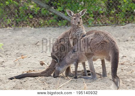Mainland Western grey kangaroo (Macropus fuliginosus melanops), also known as the black-faced kangaroo.