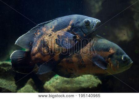 Oscar fish (Astronotus ocellatus). Tropical freshwater fish.