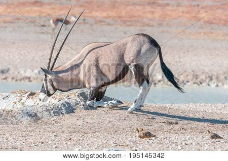 An oryx also called gemsbok Oryx gazella kneeling to drink water at a waterhole in Northern Namibia