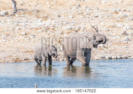 An African elephant cow Loxodonta africana and calf drinking water at a waterhole in Northern Namibia
