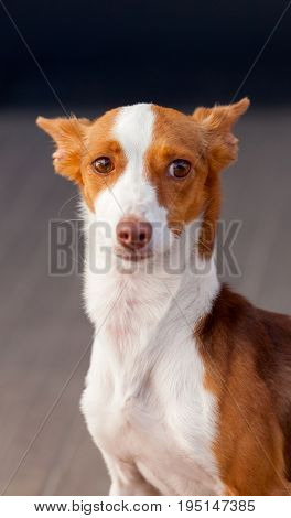 Beautiful hound dog with brown and white hair