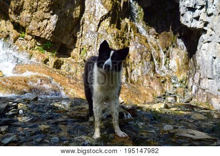 White and black colored dog standing in cold river on stones background. Summer heat.
