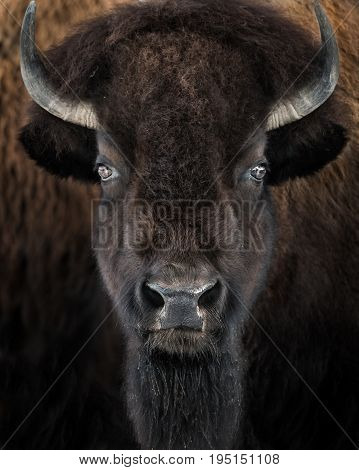 Closeup Frontal Portrait of an Adult American Bison