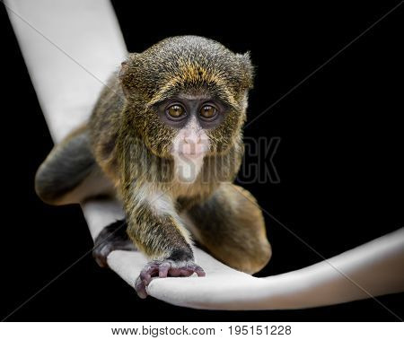 Baby De Brazza's Monkey Crawling on a Slackline Against a Black Background