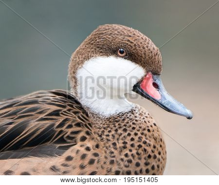 Profile Portrait of a Sitting Female Mandarin Duck
