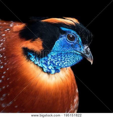 Profile Portrait of a Temminck's Tragopan Against a Black Background