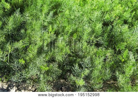 Fresh dill plant in the garden, pictures of breakfast organic dill plant