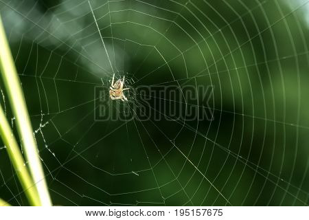 The spider on cobweb close-up on green background.