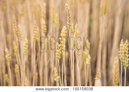 Golden wheat backgrond. Landscape with wheat field. Wheat growing on field. Field of wheat in summer. Rural scene with wheat field. A field of ripe wheat road.